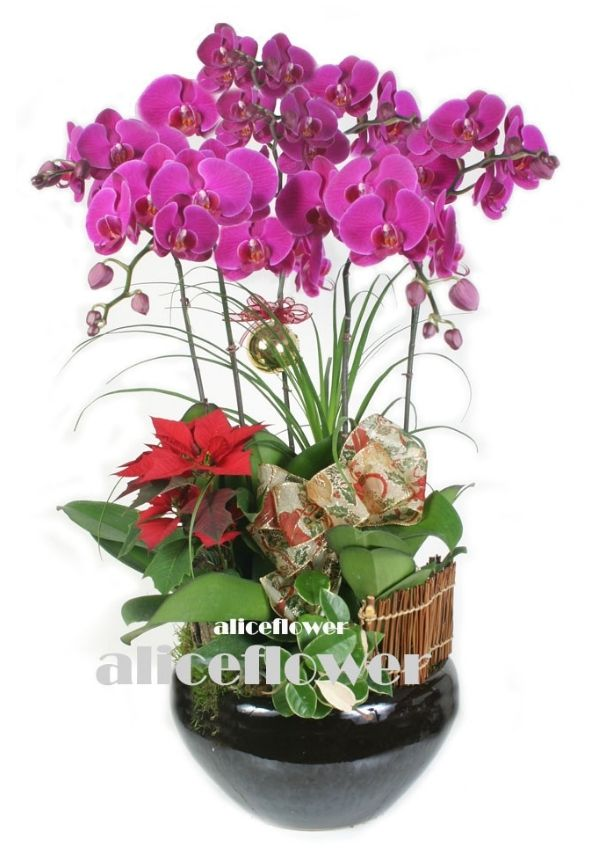 Orchid Designed-Xmas Orchid, Alice Florist Taipei, Taiwan.