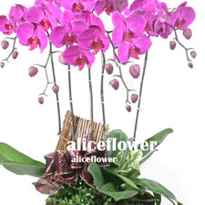 Birthday Orchid-Ruby orchid,Alice Florist Taipei Taiwan.