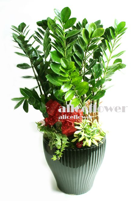 Same Day Flowers Delivery,Congratulations Plant