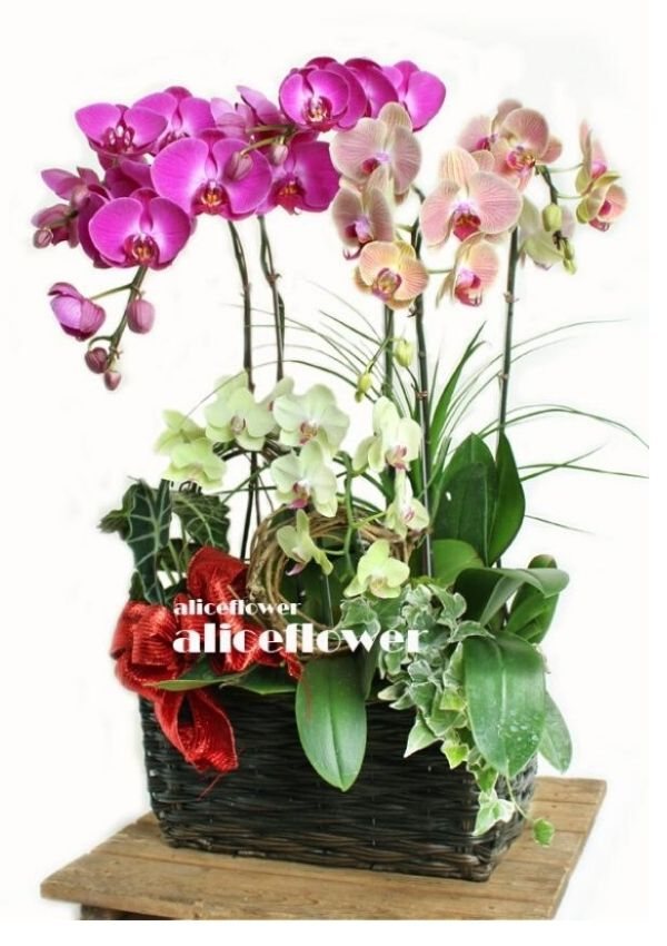 Birthday Orchid,Multicolored Orchid