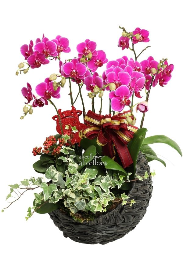 Birthday Orchid,Fortune Universe