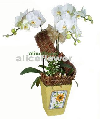 Orchid,White Orchid
