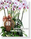 Opening Orchid Design,Good Fortune Phalaenopsis