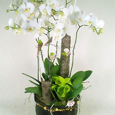 Funeral and Sympathy,Remenbrance Orchid -Alice Florist Taipei.