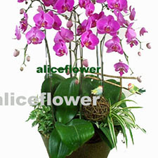 Opening Flowers and Gifts-Wild Orchids, Alice Florist Taipei.