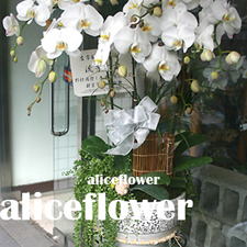 Funeral and Sympathy,White Butterfly Orchid-Alice Florist Taipei.