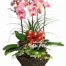 Moon Festival Orchid Plant-Birthday Celebration Orchid, Alice Florist Taipei, Taiwan.