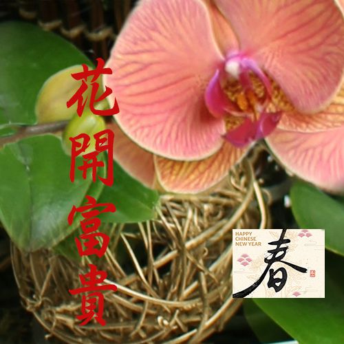 Lunar New Year Orchid