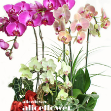 Orchid Design-Multicolored Orchid,Alice Florist Taipei Taiwan.